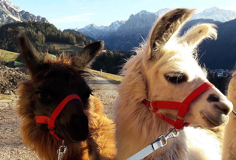 Guided hikes with llamas